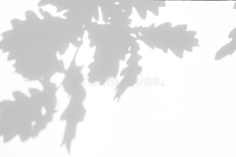 Gray shadow of the leaves on a white wall royalty free stock photo