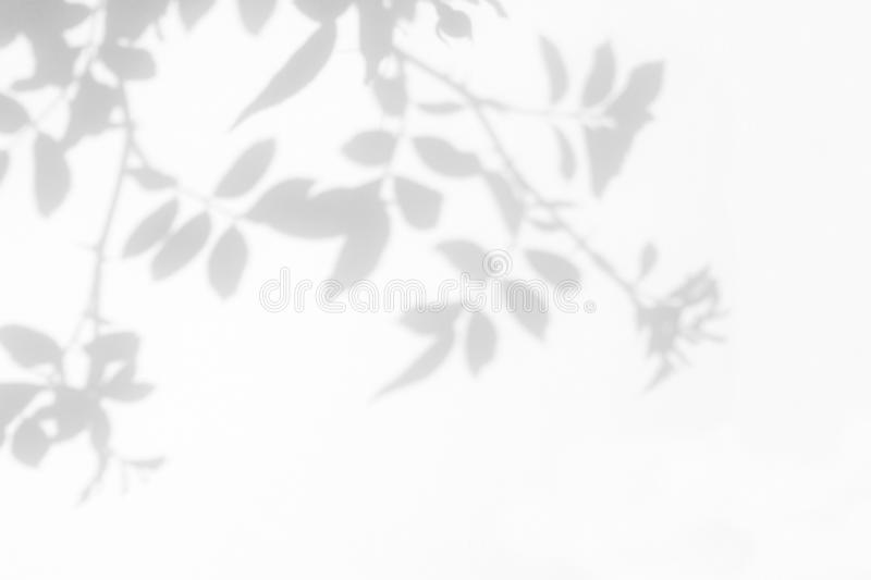 Gray shadow of the wild roses leaves and flowers on a white wall stock image