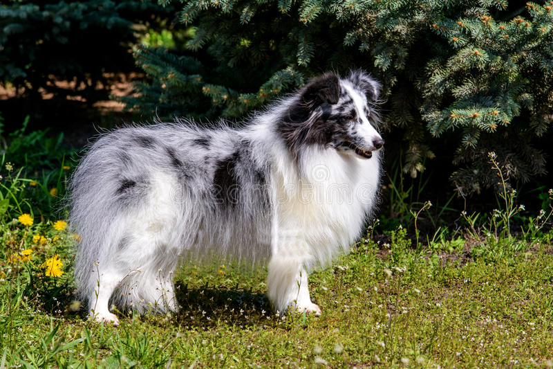 Gray Shetland Sheepdog. royalty free stock image