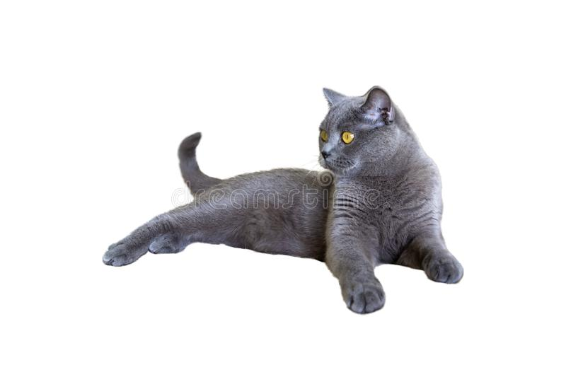 The gray shorthair cat of the British breed lies on isolated white background stock photo