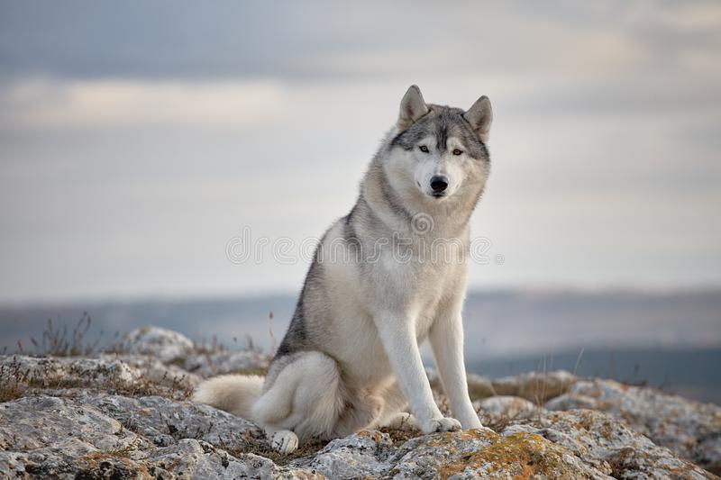 Gray Siberian husky sits on the edge of the rock and looks down. A dog on a natural background royalty free stock image