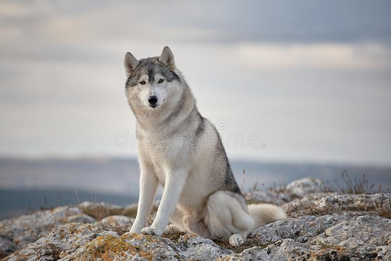 Gray Siberian husky sits on the edge of the rock and looks down. A dog on a natural background royalty free stock photos