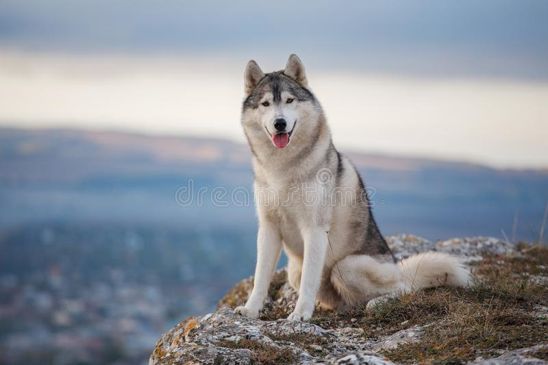 Gray Siberian husky sits on the edge of the rock and looks down. A dog on a natural background stock images
