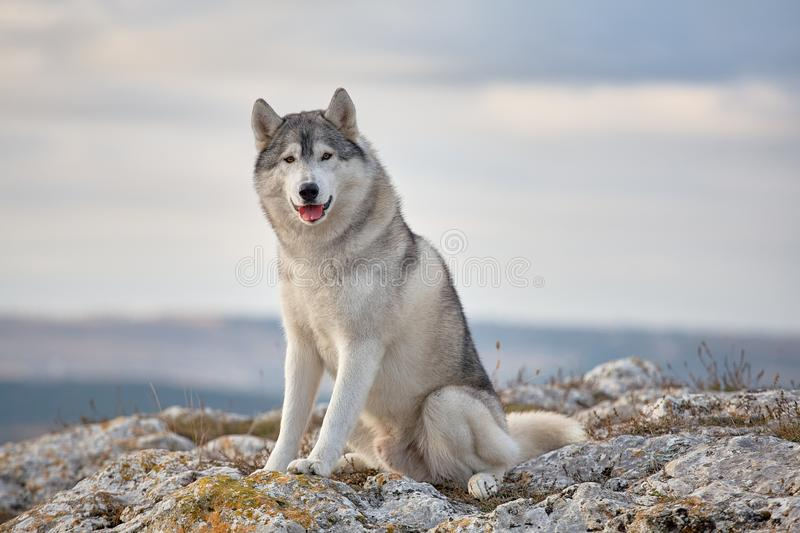 Gray Siberian husky sits on the edge of the rock and looks down. A dog on a natural background royalty free stock photo