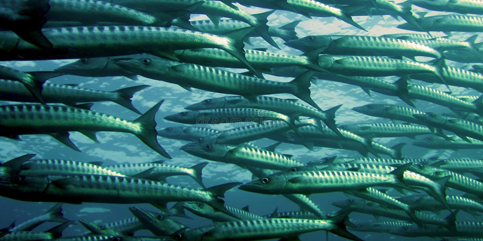 Gray And Silver School Of Fish Underwater Photography Free Public Domain Cc0 Image
