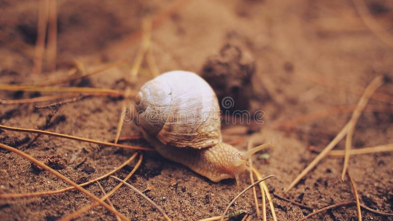 Download Gray Snail on Brown Soil stock photo. Image of mollusk - 83013374