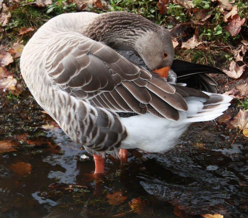 Gray Snow Goose in meer fluffing veren royalty-vrije stock foto's