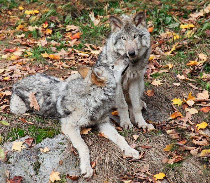 gray som kopplar av två wolves royaltyfria foton