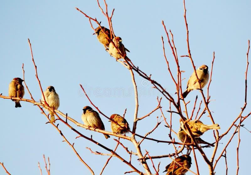 Gray sparrow stock photos