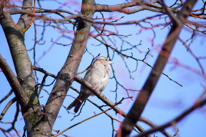 A gray sparrow sits on a thin branch of a tree. Against the blue sky royalty free stock photos