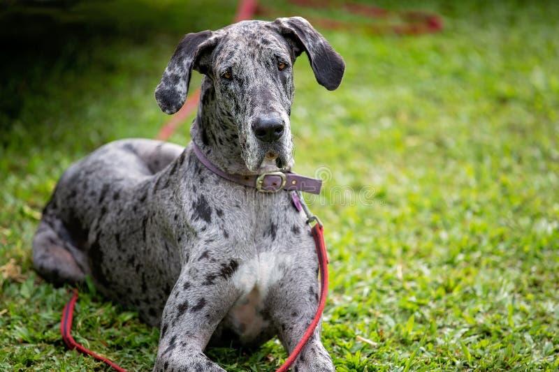 Gray Spotted Great Dane Dog immagine stock libera da diritti