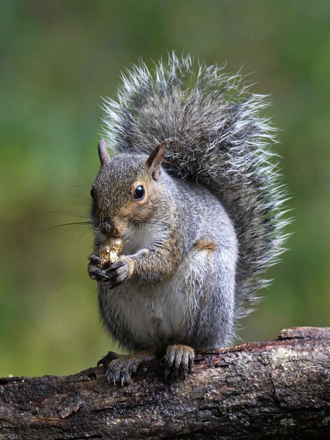 Free Gray Squirrel Stock Photography - 103633952
