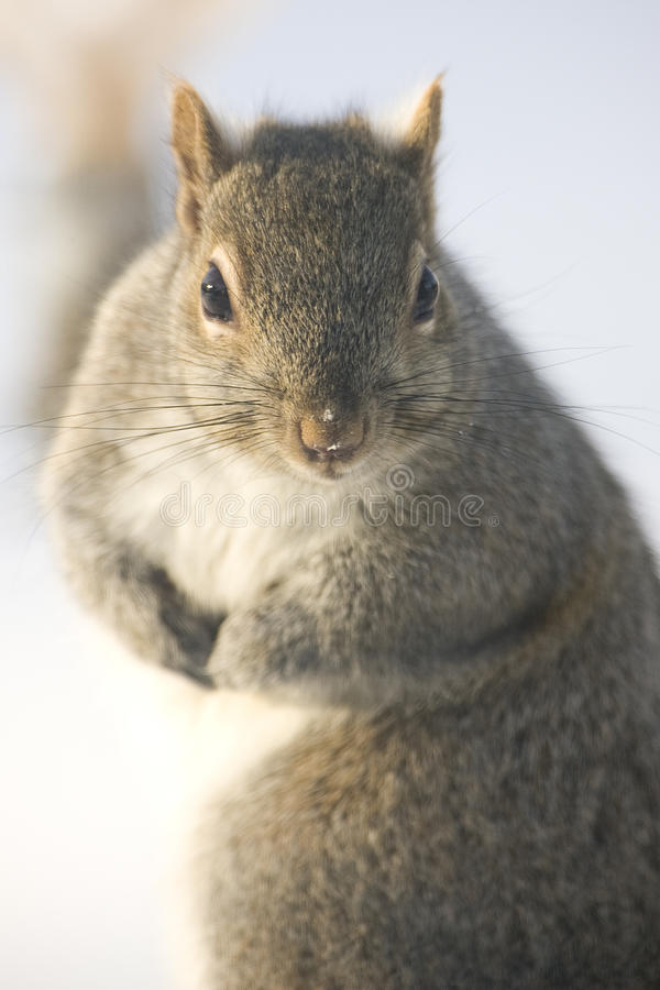 Gray squirrel royalty free stock image