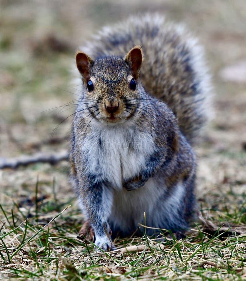 Gray Squirrel #5 stockfotos