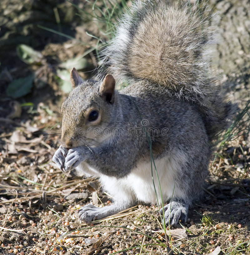 Gray Squirrel royalty free stock images