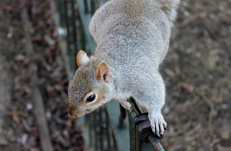 Download Gray Squirrel stock image. Image of stock, squirrel, photo - 84996447
