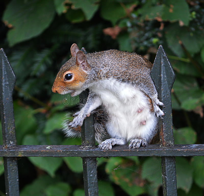 Gray squirrel begging for food stock photo