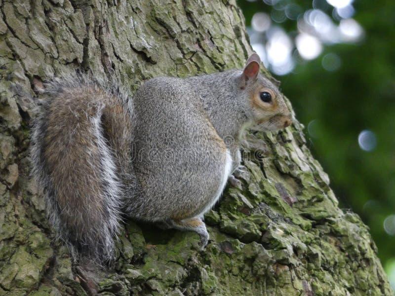Gray Squirrel - carolinensis dello Sciurus - seduto dal lato di un albero a Londra, Inghilterra immagine stock libera da diritti