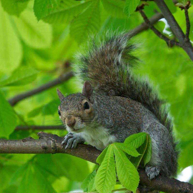 Gray Squirrel del este (carolinensis del Sciurus) en el fondo natural de la falta de definición, ardilla que se sienta en el árbol foto de archivo libre de regalías