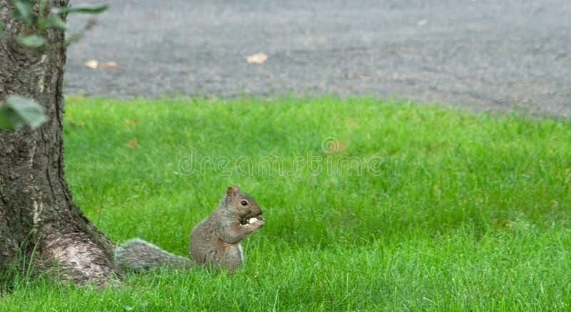 Gray Squirrel Eating Apple Sciurus Carolinensis imagen de archivo libre de regalías