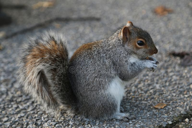 Gray squirrel eating at a park stock photography