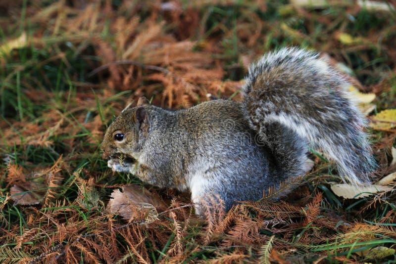 Gray squirrel eating at a park royalty free stock photo