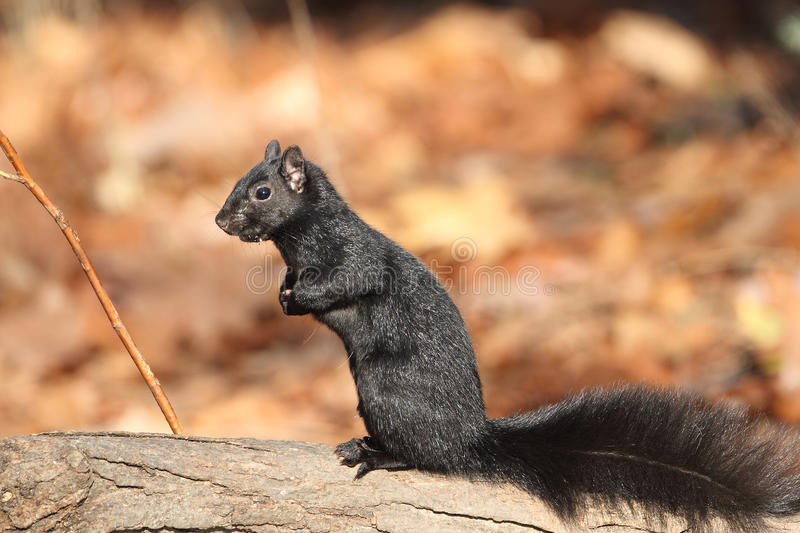 """Download Gray Squirrel on a Log stock photo. Image of """"sciurus - 27719458"""