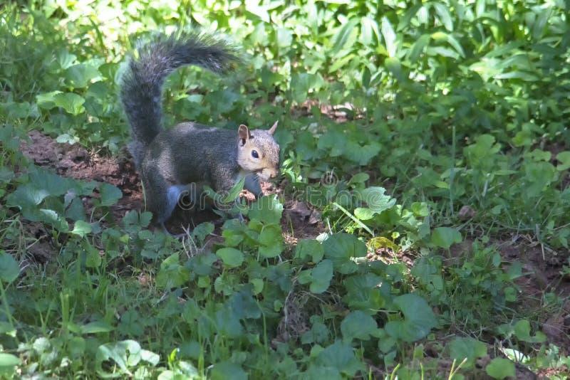 Gray Squirrel no projetor da luz do sol imagens de stock royalty free