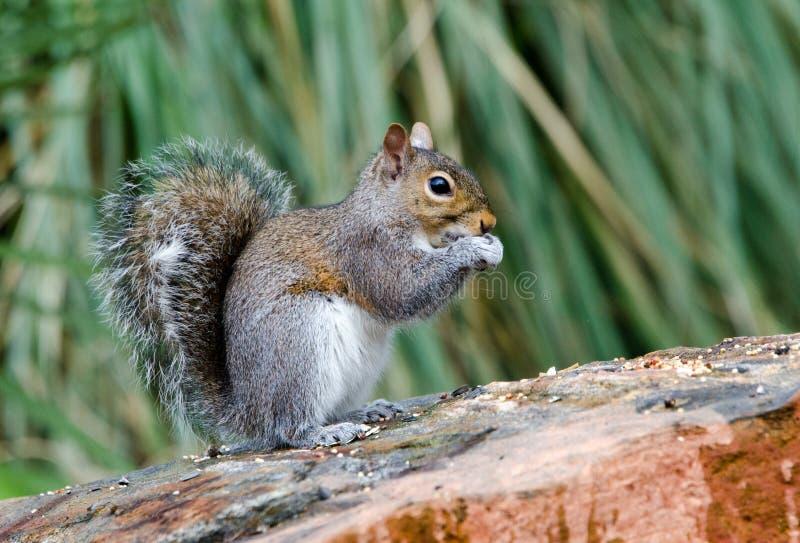 Gray Squirrel oriental, Atenas, Geórgia imagens de stock royalty free