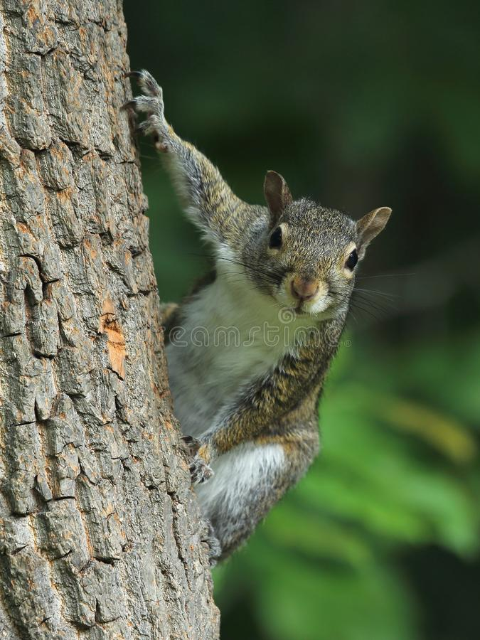 Gray Squirrel oriental curieux photographie stock