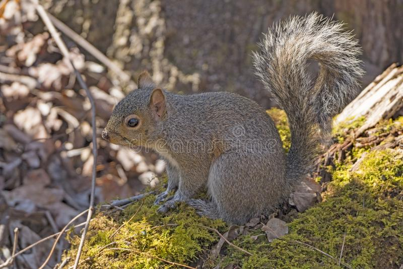 Gray Squirrel oriental na floresta foto de stock