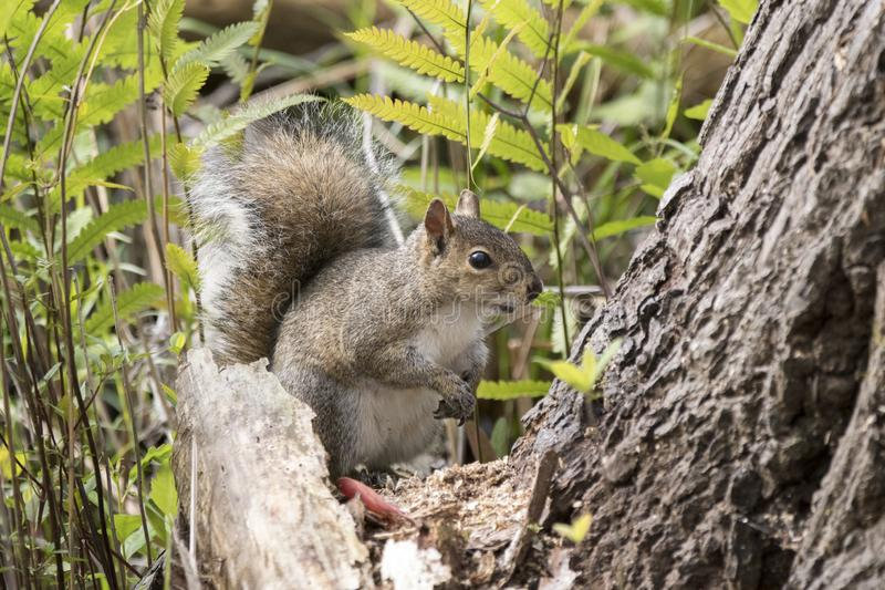 Gray Squirrel oriental na fuga da terra do tremor fotografia de stock royalty free