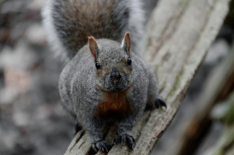 Gray Squirrel que se sienta en una cerca de carril fotos de archivo libres de regalías
