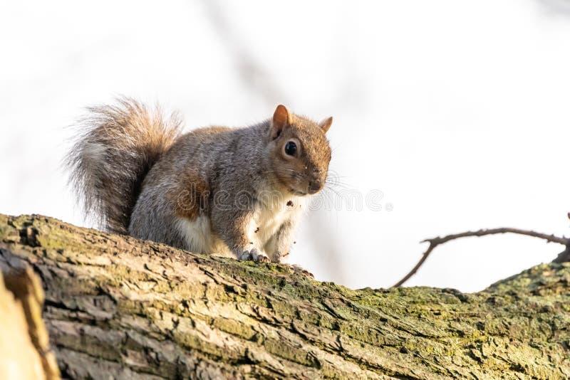 Gray Squirrel ( Sciurus carolinensis) nel Regno Unito fotografie stock libere da diritti