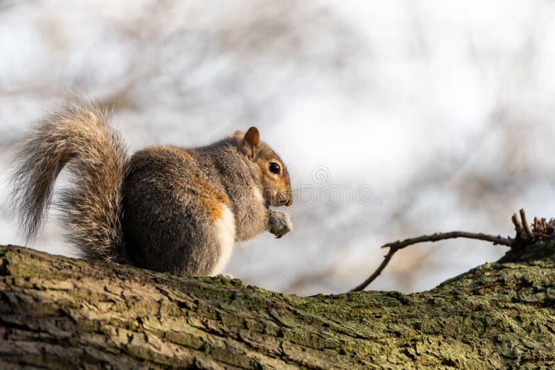 Gray Squirrel ( Sciurus carolinensis) nel Regno Unito immagini stock