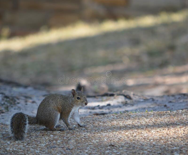 Gray Squirrel Sciurus Carolinensis oriental que procura o alimento em Philippe Park em Tampa Bay no porto da segurança, Florida fotos de stock royalty free