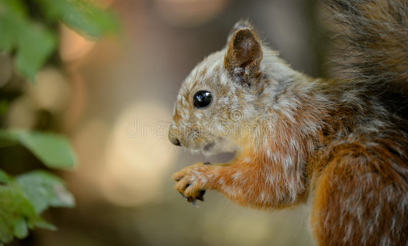 Gray squirrel sitting in the forest stock image