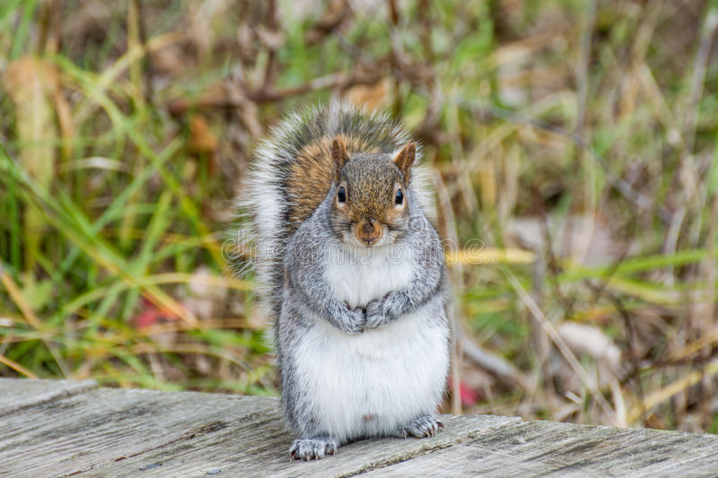 Gray Squirrel Standing stock images