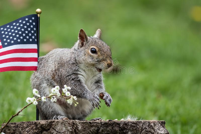 Gray squirrel stands near American Flag and smiles stock photography