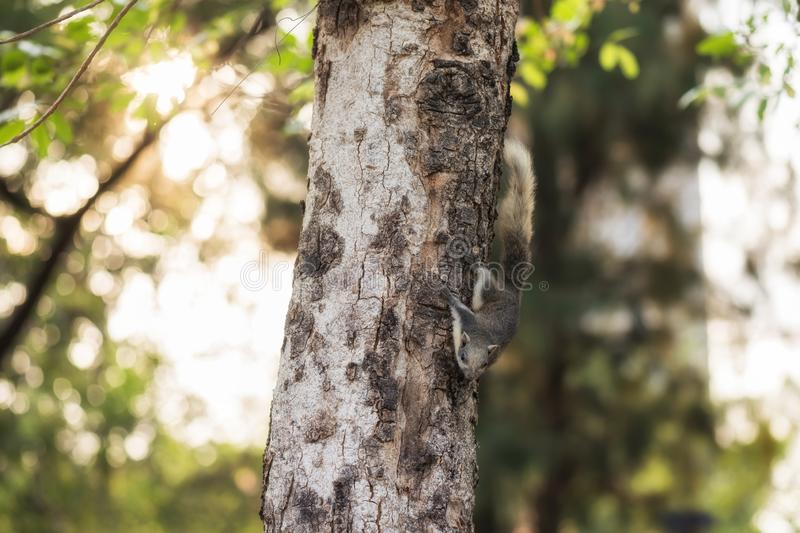 Gray squirrel on tree with bokeh. Gray squirrel on tree with a beautiful bokeh during sunrise for textued background with copy space for text animal bushy life royalty free stock photos