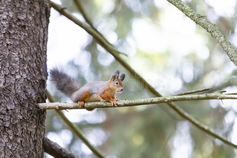 Gray squirrel on a tree branch. Little gray squirrel on a tree branch in forest stock images