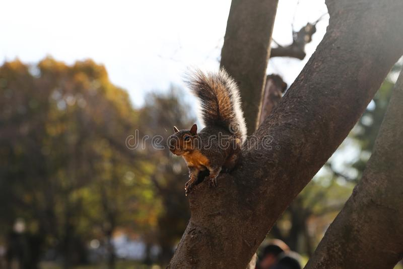 Gray squirrel in a tree at a park stock images