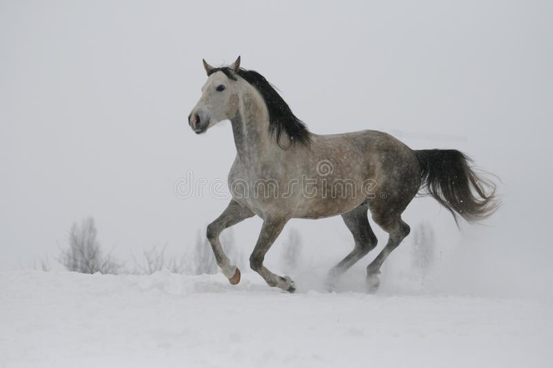 The gray stallion galloping on the slope in the snow. Horse flies over the land royalty free stock images