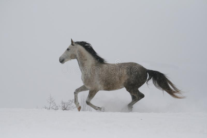 The gray stallion galloping on the slope in the snow. A horse gallops in deep snow. Snow flies from the hooves royalty free stock photo