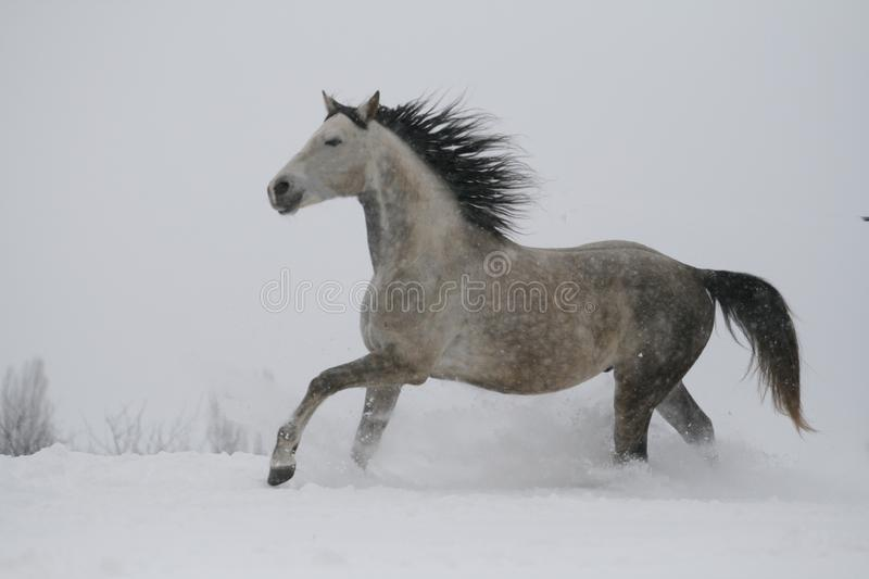 The gray stallion galloping on the top of the slope in winter, in the snow. royalty free stock photography