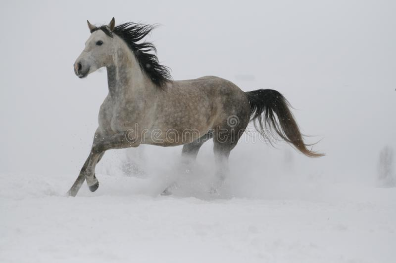 A gray stallion in a halter runs gallop through the snow in cloudy weather in winter. Color photo of shades of gray. The horse runs along the hill. Stallion is stock photos