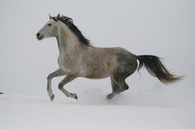 A gray stallion in a halter trots through the snow in cloudy winter weather. Color photo of shades of gray. The horse runs along the hill. Stallion is a royalty free stock images