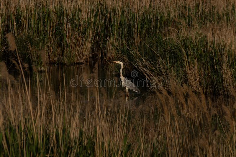 A gray stork stands in the water among the densely growing reeds.  stock photo