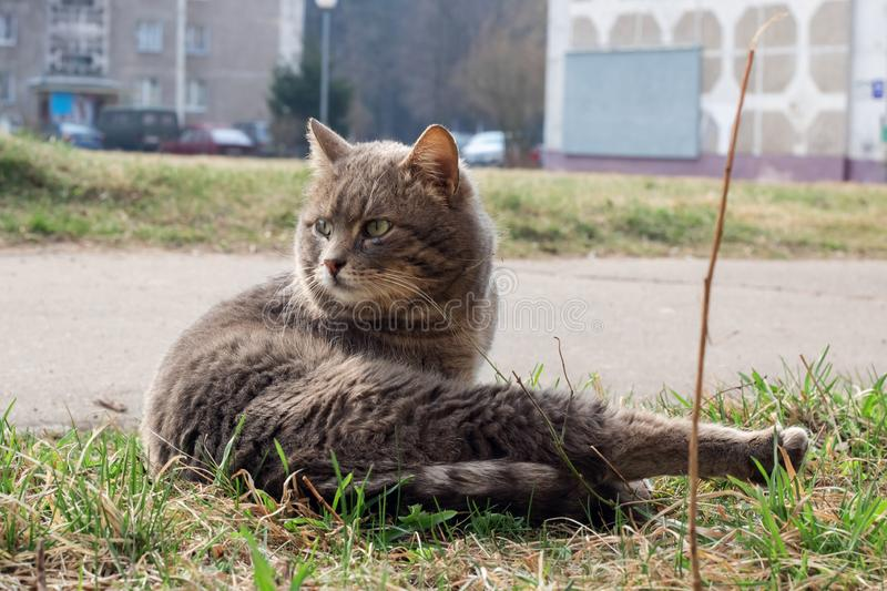 Gray stray cat sitting on green grass close up. Homeless animal royalty free stock photo