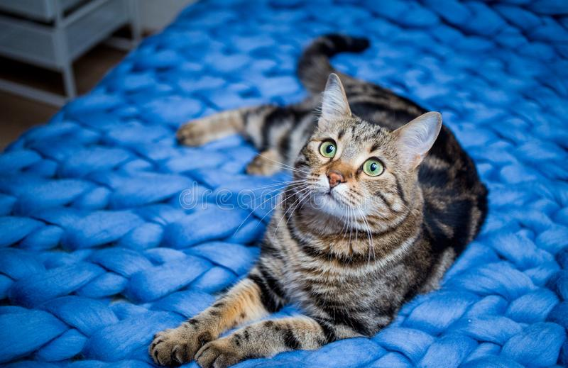 Gray striped cat on a blue knitted background. Beautiful adult cat. Gray and brown striped cat on a blue knitted blanket background in sunlight. Pet on the bed stock photography